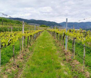 Blick in den Weingarten der Weinhofmeisterei